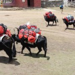 Et là, c'est des yaks qui ramènent le matos de gens qui ont probablement gravi je ne sais quel sommet pas loin...